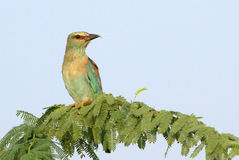 An Indian Roller Stock Photography