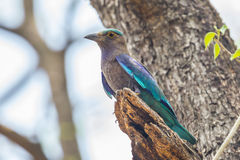 Indian roller(Coracias benghalensis) Stock Images