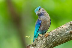 Indian roller(Coracias benghalensis) Royalty Free Stock Photos