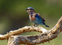 Indian Roller Stock Images