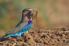 Indian Roller. An Indian Roller devouring a mouse Royalty Free Stock Image