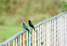 The Indian roller and a Drongo perched on fence Royalty Free Stock Photos
