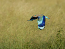 Indian Roller Flight With Whole Wing Displayed Royalty Free Stock Photo