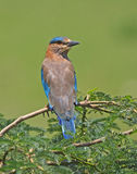 Indian roller Stock Photos