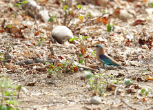 Indian roller in Jhirna forest Royalty Free Stock Images