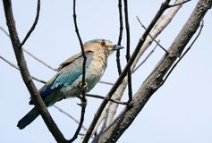 Indian Roller in the network of branch Royalty Free Stock Photo