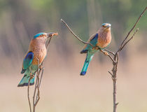 Indian roller offering Royalty Free Stock Image