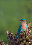 Indian Roller perched Royalty Free Stock Photos
