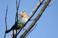 Indian Roller sitting on branch Royalty Free Stock Photo