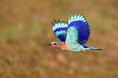 Indian roller sitting on a tree with the nice soft background Royalty Free Stock Photography