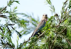 Indian roller staring at camera Royalty Free Stock Photo