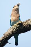 Indian roller swallowing grub Stock Photo