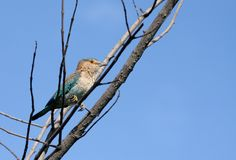 Indian Roller on a tree Royalty Free Stock Image