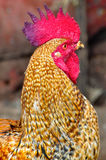 Indian rooster Stock Photography