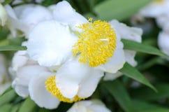 Indian rose chestnut. (Mesua ferrea Linn.). Stock Photo