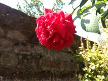Indian Rose stock photos