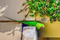 Indian rose-ringed parakeet /Psittacula, also known as the ring-necked parakeet stock images