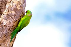 Indian Rose Ringed Parakeet Psittacula manillensis Climbing on a Tree Trunk royalty free stock photos