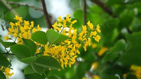Indian rosewood flowers stock footage