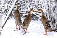 Indian Runner domestick ducks stock images