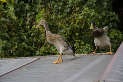 Indian runner duck. Chasing female Stock Images