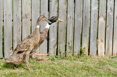 Indian runner duck Royalty Free Stock Photography
