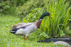 Indian runner duck Stock Photography