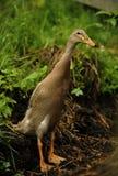 Indian runner duck Stock Image