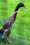 Indian runner duck on green grass stock photo