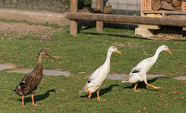 Indian runner ducks. Group of three Indian runner ducks Royalty Free Stock Image
