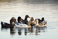 A group of Indian Runner Ducks swimming in the Lake royalty free stock images