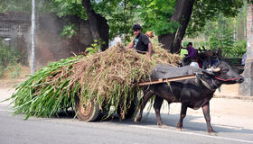Indian rural life. Boy using bullock-cart as a way of transportation in hoshiarpur punjab india stock photography
