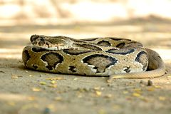 Indian Russell`s viper snake wild wallpaper royalty free stock photos