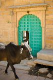 Indian sacred cow Stock Photography