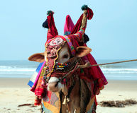 Indian sacred cow on the beach Stock Photos