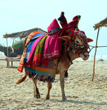 Indian sacred cow on the beach Royalty Free Stock Images