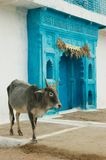 Indian sacred cow and blue gates Stock Photography