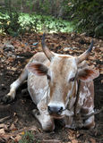 Indian sacred cow on the dump at outskirts of city, Goa Stock Images