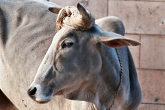 Indian sacred cow Royalty Free Stock Images