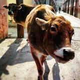 Indian sacred cows Royalty Free Stock Image