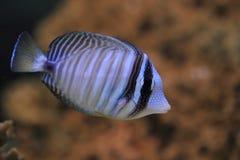 Indian Sailfin surgeonfish Royalty Free Stock Images