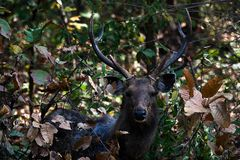 Indian Sambar Deer (Cervus unicolor) Royalty Free Stock Photography