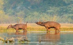 Indian Sambar Deer pair Royalty Free Stock Photography