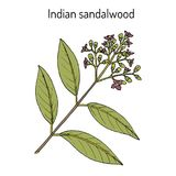 Indian sandalwood Santalum album , medicinal plant. Hand drawn botanical vector illustration vector illustration