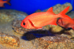 Indian Scarlet soldierfish Stock Photo