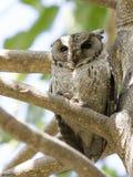Indian scops owl stock photo