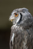Indian scops owl royalty free stock photography
