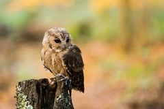 An Indian scops owl sitting on a tree stump. stock images