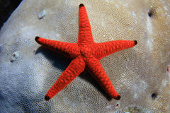 Indian sea star Stock Photo