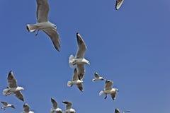 Indian seagulls Stock Photos